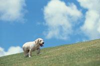 芝生の上のゴールデンレトリバー 21003003772| 写真素材・ストックフォト・画像・イラスト素材|アマナイメージズ