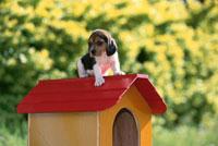 犬小屋に乗るビーグル 21003003774| 写真素材・ストックフォト・画像・イラスト素材|アマナイメージズ
