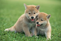 芝生の上の2匹の柴犬
