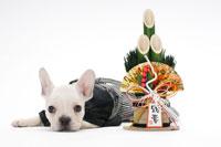 フレンチブルドッグと門松 21003004197| 写真素材・ストックフォト・画像・イラスト素材|アマナイメージズ