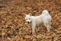 柴犬と落ち葉 21003004233A| 写真素材・ストックフォト・画像・イラスト素材|アマナイメージズ