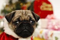 パグとクリスマス小物