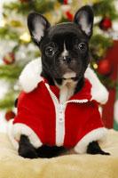 フレンチブルドッグとクリスマス小物