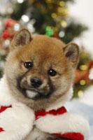 柴犬とクリスマス小物