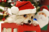 サンタ帽を被った犬
