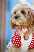犬 21003004269| 写真素材・ストックフォト・画像・イラスト素材|アマナイメージズ