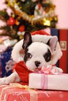 フレンチブルドッグとプレゼント