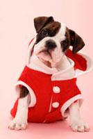 サンタ服のフレンチブルドッグ