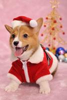 サンタの服を着たコーギー