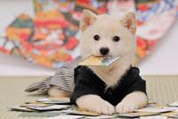 札をくわえた着物を着た白柴犬