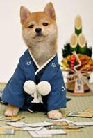 着物を着た赤柴犬とお正月飾り 21003004370| 写真素材・ストックフォト・画像・イラスト素材|アマナイメージズ
