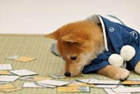 札を見る着物を着た赤柴犬