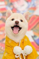 着物を着て舌を出す白柴犬 21003004373A| 写真素材・ストックフォト・画像・イラスト素材|アマナイメージズ