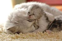 眠るペルシャの親子
