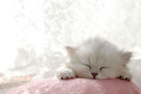 クッションで眠るチンチラシルバー
