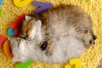 眠るチンチラゴールデンとチンチラシルバー
