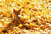 柴犬 21003004517A| 写真素材・ストックフォト・画像・イラスト素材|アマナイメージズ