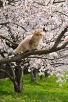 チンチラゴールデンのペルシャと桜