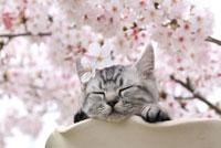 マンチカンと桜