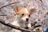 チワワと桜