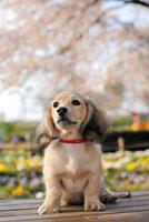 ダックスフントと桜