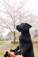 ラブラドールレトリバーと桜