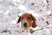 ミニチュアダックスフントと桜