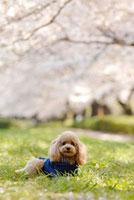 トイプードルと桜