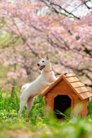 柴犬と桜と犬小屋