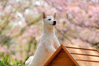 柴犬と桜と犬小屋 21003004647A| 写真素材・ストックフォト・画像・イラスト素材|アマナイメージズ