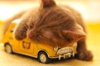 おもちゃの自動車の上で眠るアメリカンショートヘアー 21003004757  写真素材・ストックフォト・画像・イラスト素材 アマナイメージズ