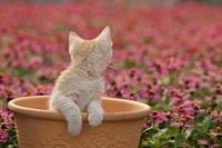 植木鉢に入るスコティッシュフォールドと花壇