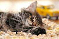 ラグで眠るアメリカンショートヘアー 21003004802  写真素材・ストックフォト・画像・イラスト素材 アマナイメージズ