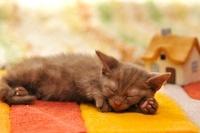 眠るメインクーン 21003004873  写真素材・ストックフォト・画像・イラスト素材 アマナイメージズ
