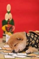 柴犬 21003005420| 写真素材・ストックフォト・画像・イラスト素材|アマナイメージズ