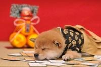 柴犬 21003005421| 写真素材・ストックフォト・画像・イラスト素材|アマナイメージズ
