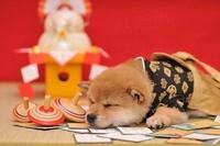 柴犬 21003005423| 写真素材・ストックフォト・画像・イラスト素材|アマナイメージズ