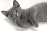 ロシアンブルー 21003005431| 写真素材・ストックフォト・画像・イラスト素材|アマナイメージズ