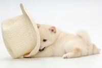 柴犬 21003006328| 写真素材・ストックフォト・画像・イラスト素材|アマナイメージズ
