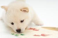 柴犬 21003006354| 写真素材・ストックフォト・画像・イラスト素材|アマナイメージズ