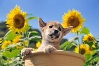 柴犬 21003006688| 写真素材・ストックフォト・画像・イラスト素材|アマナイメージズ