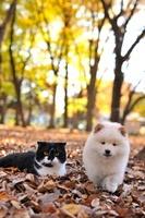 スコティッシュフォールド、ミックス(ポメラニアン、柴犬) 21003007018| 写真素材・ストックフォト・画像・イラスト素材|アマナイメージズ
