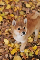 柴犬 21003007131| 写真素材・ストックフォト・画像・イラスト素材|アマナイメージズ