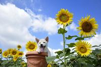 白柴犬 21003007826| 写真素材・ストックフォト・画像・イラスト素材|アマナイメージズ