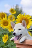 白柴犬 21003007828| 写真素材・ストックフォト・画像・イラスト素材|アマナイメージズ