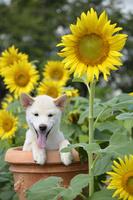 白柴犬 21003007833| 写真素材・ストックフォト・画像・イラスト素材|アマナイメージズ
