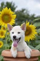 白柴犬 21003007834| 写真素材・ストックフォト・画像・イラスト素材|アマナイメージズ