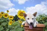白柴犬 21003007837| 写真素材・ストックフォト・画像・イラスト素材|アマナイメージズ