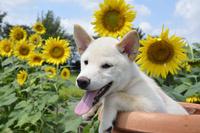 白柴犬 21003007838| 写真素材・ストックフォト・画像・イラスト素材|アマナイメージズ