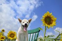 白柴犬 21003007845| 写真素材・ストックフォト・画像・イラスト素材|アマナイメージズ
